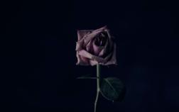 Foto: Pink Rose