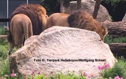 Foto: Zwei Löwen im Tierpark Hellabrunn